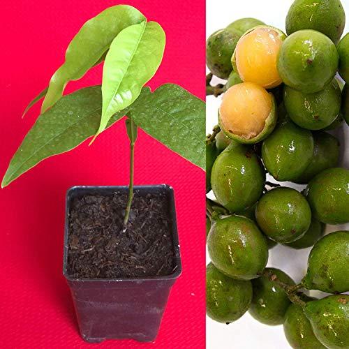 Español cal genip Guinep Ginepa Limoncillo Mamoncillo fruta plántulas de arranque Pl
