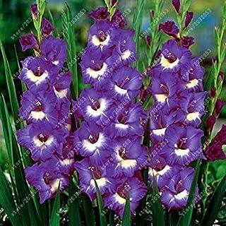 Virtue Bulbos de gladiolos reales, bulbos de flores, lirio de la espada, planta de maceta, decoración de bonsái, jardín (no semillas de gladiolo) - 2 bombilla 11