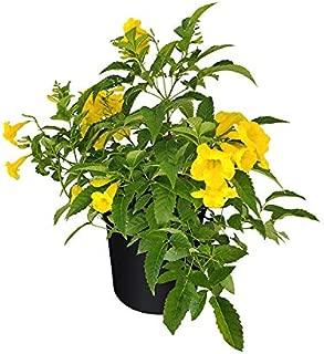 PlantVine Tecoma stans, Yellow Elder, Esperanza, Trumpetflower, Bells of Fire - Large, Bush - 8-10 Inch Pot (3 Gallon), Live Plant