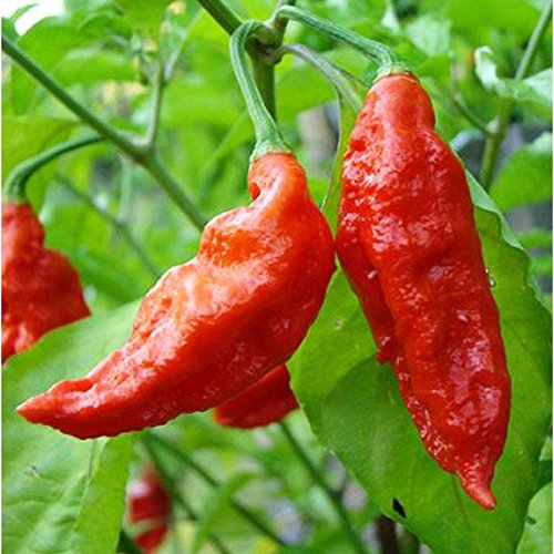 10PC Seed Ghost Peppers futuristic Cosy Chili Rare Sowing Bhut Jolokia Balcony Vegetable Seeds