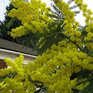 30 Seeds Silver Wattle Mimosa Tree Seeds (Acacia dealbata)