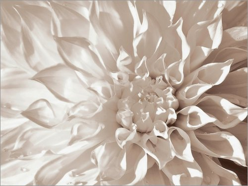 Posterlounge Acrylglasbild 80 x 60 cm: Dahlie Sepia von Renate Knapp - Wandbild, Acryl Glasbild, Druck auf Acryl Glas Bild
