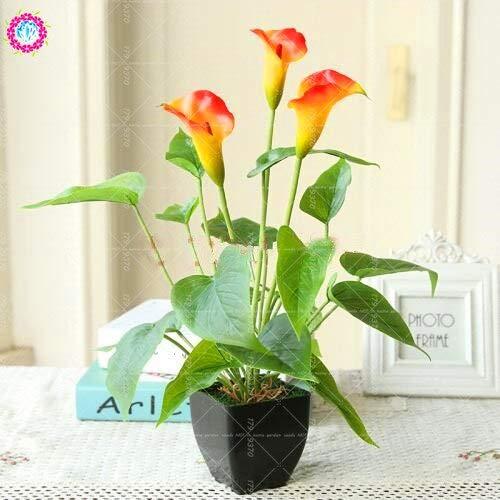 2 Stück Regenbogen Calla Lilienzwiebeln Bonsai Pflanzen für Haus Farbe Innen Calla Blume Bonsai Zwiebeln mischen Pflanztopfpflanze Garten: 2