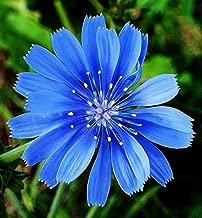 Chicory Flower Seeds Organic Natural Herb Blue Dandelion Coffeeweed Sale cb001