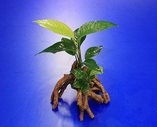 WFW wasserflora Verschiedenblättriges Speerblatt-Mangrovenwurzel mit Höhle/Mangrovenbaum mit Anubias Heterophylla
