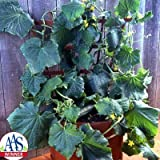 Cucumber Salad Bush F1 Seeds - Vegetable Seeds Package - Approx. 50...