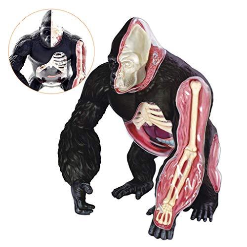 ALBB Orang-Utan-Modell - Tieranatomie-Modell - Anatomisches Silverback Ape Organ-Strukturmodell - Kunststoffmaterial abnehmbares medizinisches Unterrichtsmodell für medizinische Erziehungshilfe
