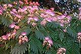 15 Fresh Mimosa Tree Cuttings - Silk Tree - Live Plant #TND174