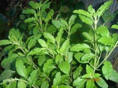 chia tai Organische Samen für Indisches Basilikum