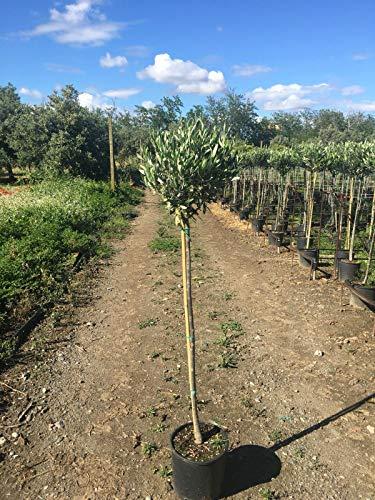 Olivenbaum - Olea Europea Stämmchen 160-180 cm
