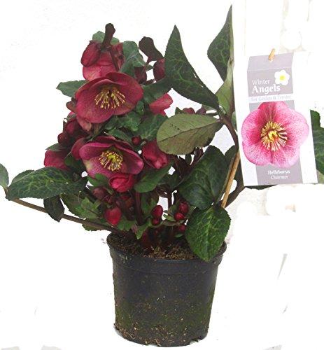 Helleborus 'Charmer'- rote Christrosen Schneerose oder Nieswurz 13 cm Topf winterblühend, winterharte Pflanze