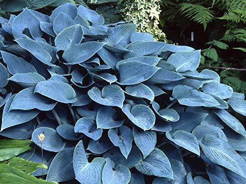 Keland Garten - Rarität 50pcs Funkie Elegance Hosta Mix großartig, Blumensamen Mischung winterhart mehrjährig im Beet Blumenkübeln für Ihre Veranda, oder Terrasse