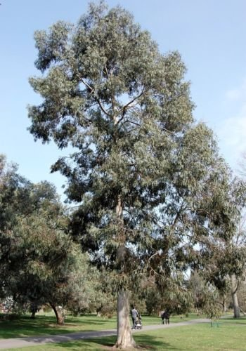 Future Exotics Eucalyptus Perriniana Eukalyptus Pflanze winterhart 80-85 cm