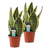 Lot de 2 Sansevieria'Superba' | Plante succulente | Hauteur 30-40cm | Pot Ø 12cm