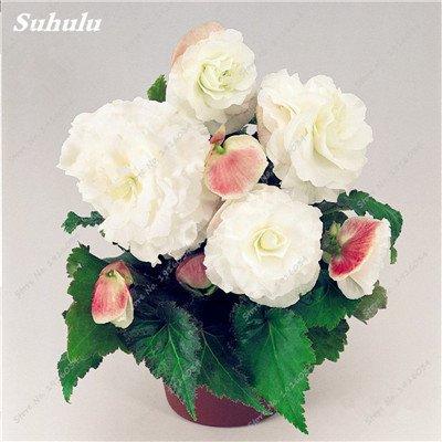 200 pcs/sac couleur Rare Begonia, Graines Bonsai Balcon Fleur, Plantes d'intérieur protection contre les radiations Bonsai graines, facile à cultiver 15