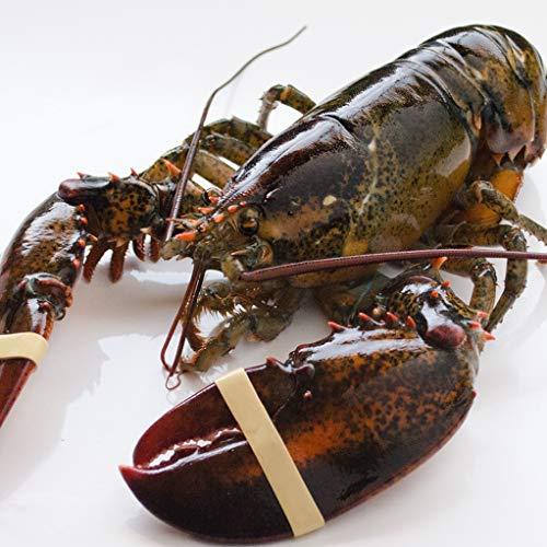 天然活オマール海老 500g カナダ産 活物専門商社【魚活】 (10尾)