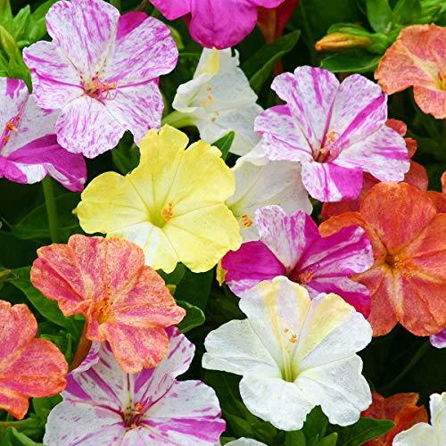 AIMADO Samen-100 Pcs Wunderblumen Blumensamen mischung Kletterstrauch Sommer Blumen Mit farbenprächtige Blüten Pflegeleicht, mehrjährig Saatgut für bonsai balkon Garten