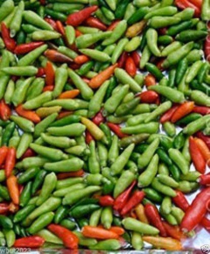 Pepper oiseaux jamaïcaine, les graines de piment (Capsicum annuum) très chaud, Heirloom Chili