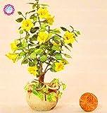 100PCS rara semilla amarilla Mini árbol del hibisco Semillas hibisco chino planta de los bonsai de interior para jardín fácil de cultivar