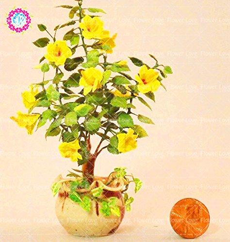 100PCS Rare Jaune Mini Hibiscus Arbre semencière chinoise Hibiscus Graines de fleurs d'intérieur Bonsai plantes pour jardin facile à cultiver