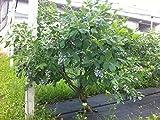 Mirtillo gigante americano frutti di bosco pianta già fruttifera in vaso ø18 cm