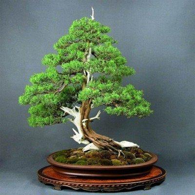 Creative Farmer Acacia Mangium Bonsai Suitable Seeds For Indoor Outdoor Gardening Plant Seeds Amazon In Garden Outdoors