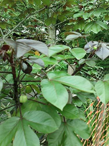 Ferry Jatropha-Pflanze Leben bloße Wurzel s von 8 Zoll bis 14 Zoll