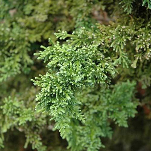 Chamaecyparis Obtusa 'Lycopodioides'- Cyprès Hinoki du Japon 'Lycopodiodes' 20-25 cm en conteneur