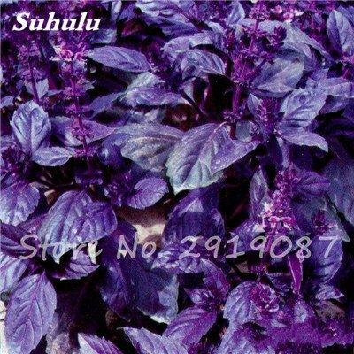 200 pièces rares Violet basilic Graines Bonsai Plante aromatique douce Ocimum basilicum Légumes Aromatique Graines Bonsai Pour la maison Cuisine 3