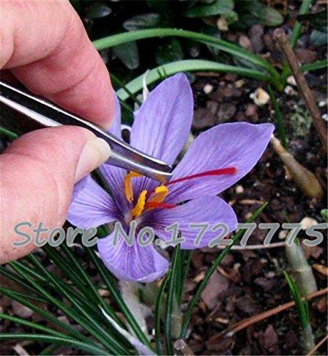 100PC Saffron Samen, Safran Blumensamen, Safrankrokus Samen, Garten Blumen Pflanzen, Samen Bonsai