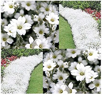 CERASTIUM TOMENTOSUM BIANCO NEVE IN ESTATE 500 SEMI