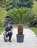 Tureミックスソテツ種子サゴヤシの木種子盆栽フラワー種子の発芽率95% 珍しい鉢植え植物ホームガーデン50個/バッグ