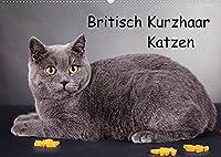 Britisch Kurzhaar Katzen (Wandkalender 2022 DIN A2 quer): BKH Katzen (Monatskalender, 14 Seiten )