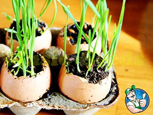 1bag = 100pcs VENDUES HOT chinois sauvages graines OIGNON SPRING HERBES légumes exotiques graines mini-pot maison bonsaï & jardin