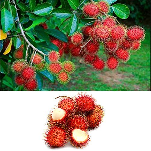 QHYDZ Samenhaus- Tropische Fruchtsamen Pflanzen Rambutan Samen 20 Pcs, Exotische Früchte Obst Saatgut, Köstlicher Nephelium lappaceum mögen Litschi, Riesenpflanze Baum