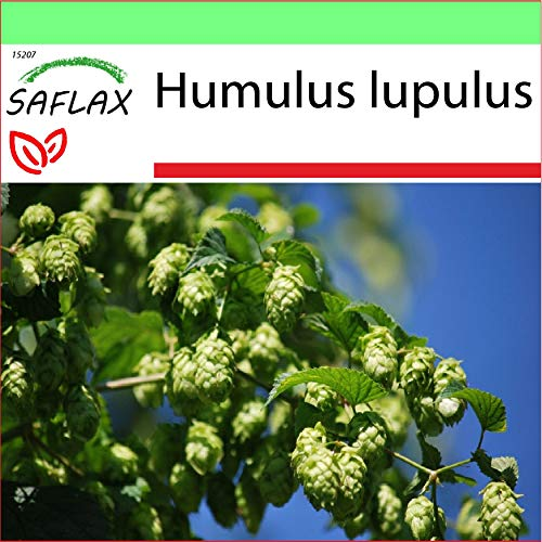 SAFLAX - Garden to Go - Heilpflanzen - Echter Hopfen - 50 Samen - Mit Tontopf, Untersetzer, Anzuchtsubstrat und Dünger - Humulus lupulus