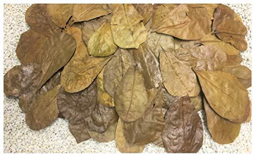 Catappa-Leaves.de Aquaristik Naturprodukte Import & Export Lot de 50 mini feuilles de badamier de 6 à 9 cm - Format nano
