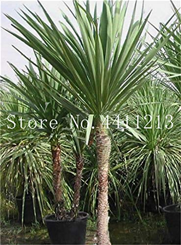 Bloom Green Co. 10 Pcs/bag Bottle palm tree Bonsai Exotic Bonsai tree Tropical Ornamental plant bonsai for home garden Four seasons Decoration: 11