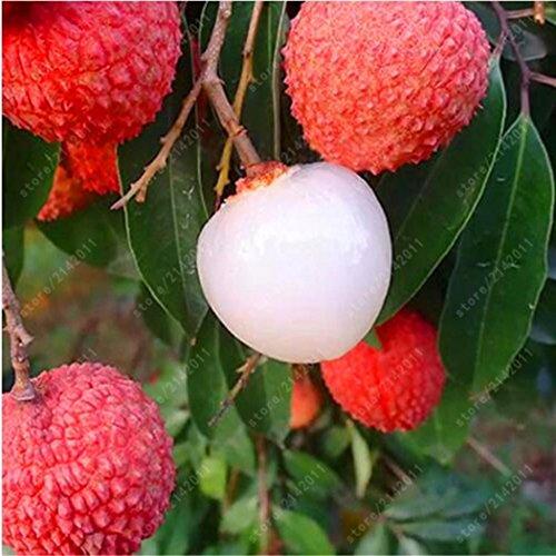 Cioler 5pcs Litchi Samen Litschi Samen Garten Bonsai Pflanzen Seltene Obstbaum Samen