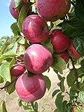 Apfelbaum, Jamba, Malus domestica, Obstbaum winterhart, Tafelapfel rot, im Topf, 130 - 150