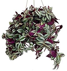 Tradescantia zebrina wandering jew care info houseplant central - Wandering jew care ...