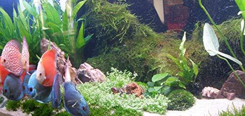 Mühlan Wasserpflanzen Sortiment für Diskus, südamerikanische, temperaturbeständige Aquariumpflanzen + Wasserpflanzendünger