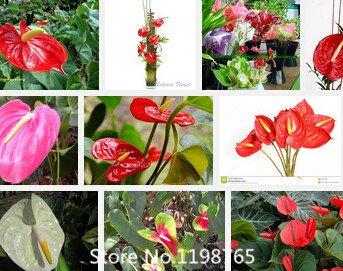 Promotion pourpre graines anthurium, plante anthurium rouge, la maison série bonsaï graines de fleurs anthurium 100 particules / sac Novel Seed