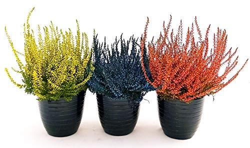 ERICA CALLUNA COLOR LIFE, 3 PIANTE V12CM, piante vere