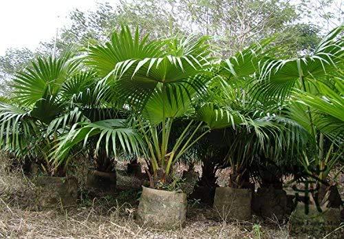 Bloom Green Co. 20 Pcs Chinois Fan Palm Bonsai, des Plantes ornementales Livistona chinensis, Arbre à Feuilles persistantes Grand Fontaine Palmier Bonsai Bonne année: 4