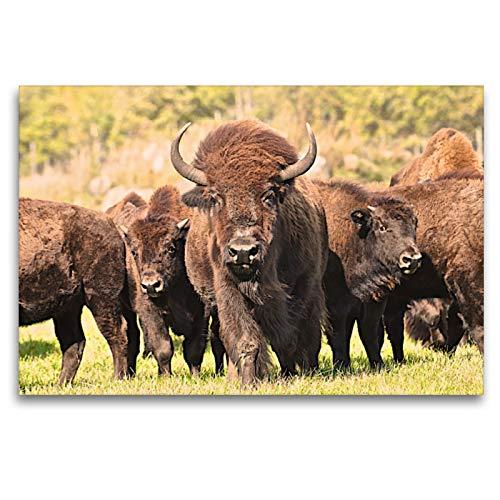 Calvendo Bisones en Manitoba, 120 x 80 cm
