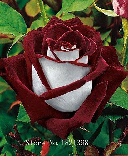 100PCS Fleur Rose Graine Hollande Amoureux des semences cadeau Orange Vert arc-en-RARE Couleur 24 Bricolage choisir le jardinage Fleur 9