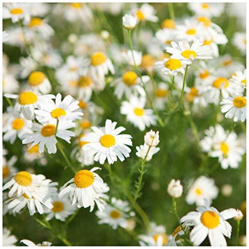 Earthcare Seeds Chamomile Roman 10,000 Seeds (Anthemis nobilis) Heirloom - Non GMO - Perennial