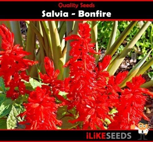 Salvia Bonfire 50 graines Plantes minimum colorées Jardin de fleurs. Literie haut.