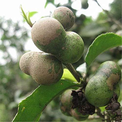 TENGGO Egrow 30 Teile/Paket Pu'er Tee Samen Pu Erh Teebaum Pflanze Chinesischen Pu'er Teebaum